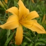 Oakes-Daylilies-Mico-001