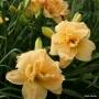 Oakes-Daylilies-Silent-Thunder-daylily