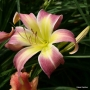 Oakes-Daylilies-Wilson-Spider-daylily-003