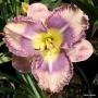 Oakes-Daylilies-Mexicali-Blues-daylily-004