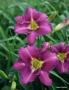 Oakes-Daylilies-Shari-Harrison-daylily