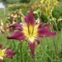 Oakes-Daylilies-Diabolique-daylily-005