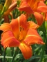 Oakes-Daylilies-Orange-Vols-daylily-007
