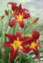 Oakes-Daylilies-Spider-Man-daylily