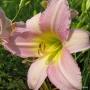 Oakes-Daylilies-Catherine-Woodbery-daylily-002