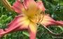 Oakes-Daylilies-Lake-Norman-Spider-daylily-004