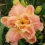 Oakes-Daylilies-Dorothy-And-Toto-daylily-001