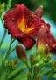 Oakes-Daylilies-Pardon-Me-daylily-003