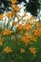 Oakes-Daylilies-Autumn-Minaret-daylily-002