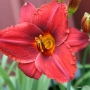Oakes-Daylilies-Frankly-Scarlet-daylily-003