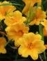 Oakes-Daylilies-Stella-De-Oro-daylily-003