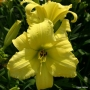 Oakes-Daylilies-Frozen-Jade-daylily-001