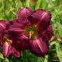 Oakes-Daylilies-Siloam-Royal-Prince-daylily-002