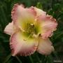 Oakes-Daylilies-Elusive-Happiness-daylily-001