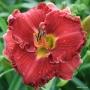 Oakes-Daylilies-Hot-Gossip-daylily-005