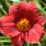 Oakes-Daylilies-Little-Zinger
