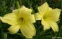 Oakes-Daylilies-Ida-Miles-daylily