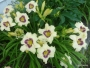 Oakes-Daylilies-Pandora's-Box-daylily-007