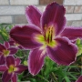 Oakes-Daylilies-Indian-Giver-daylily
