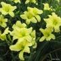 Oakes-Daylilies-Lemon-Vista-001