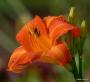 Oakes-Daylilies-Orange-Vols-daylily-003