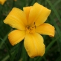 Oakes-Daylilies-Buttered-Popcorn-daylily-002