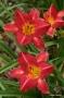 Oakes-Daylilies-Chicago-Cherry-daylily