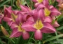 Oakes-Daylilies-Chicago-Arnie's-Choice-daylily-003