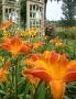 Oakes-Daylilies-Orange-Vols-daylily-002