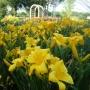 Oakes-Daylilies-Buttered-Popcorn-daylily-003