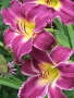 Oakes-Daylilies-Indian-Giver-daylily-002