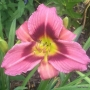 Oakes-Daylilies-Addie-Branch-Smith-daylily-006