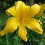 Oakes-Daylilies-Mico-005