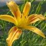 Oakes-Daylilies-Autumn-Minaret-daylily-001