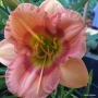 Oakes-Daylilies-Forsyth-Hot-Lips-daylily-003