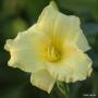 Oakes-Daylilies-Miss-Amelia-daylily-008