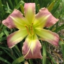 Oakes-Daylilies-Star-Of-Fantasy-daylily-008