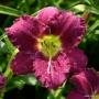 Oakes-Daylilies-Woodside-Rhapsody-daylily