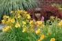 Oakes-Daylilies-Stella-De-Oro-daylily-001
