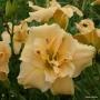Oakes-Daylilies-Silent-Thunder-daylily-002