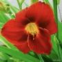 Oakes-Daylilies-Frankly-Scarlet-daylily-006